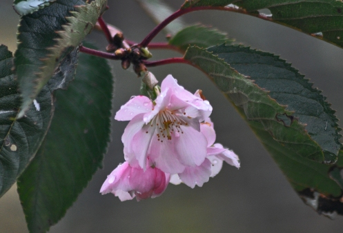 LATE FLOWERING CHERRY